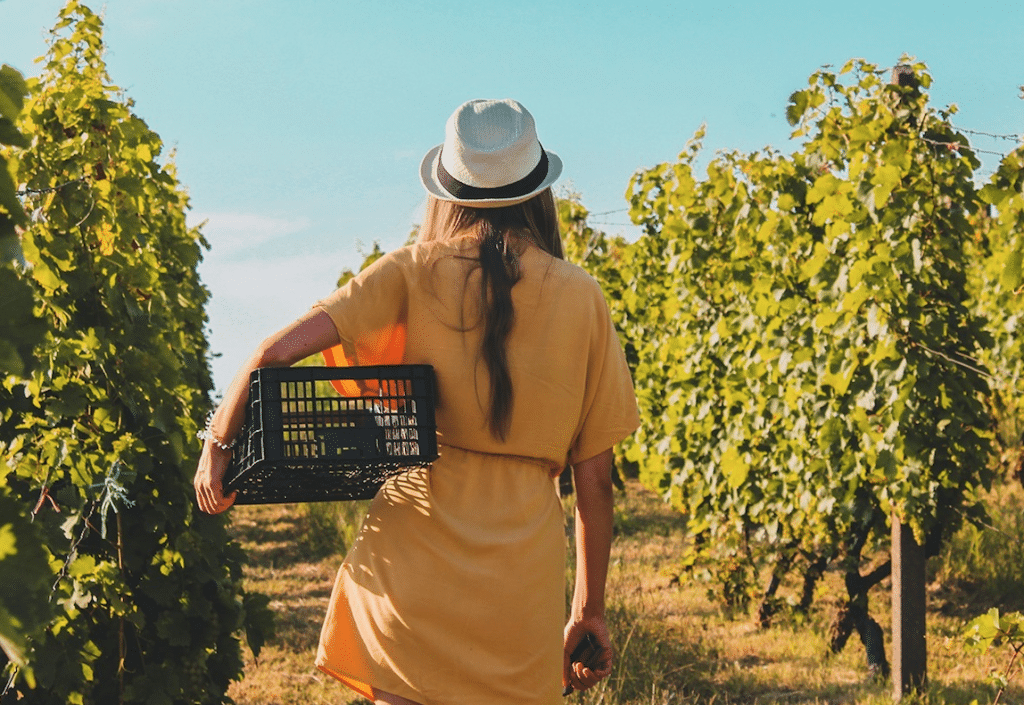 A Woman walks through a vineyard holding a crate to put grapes in for Uptown Life Concierge Prince Edward County