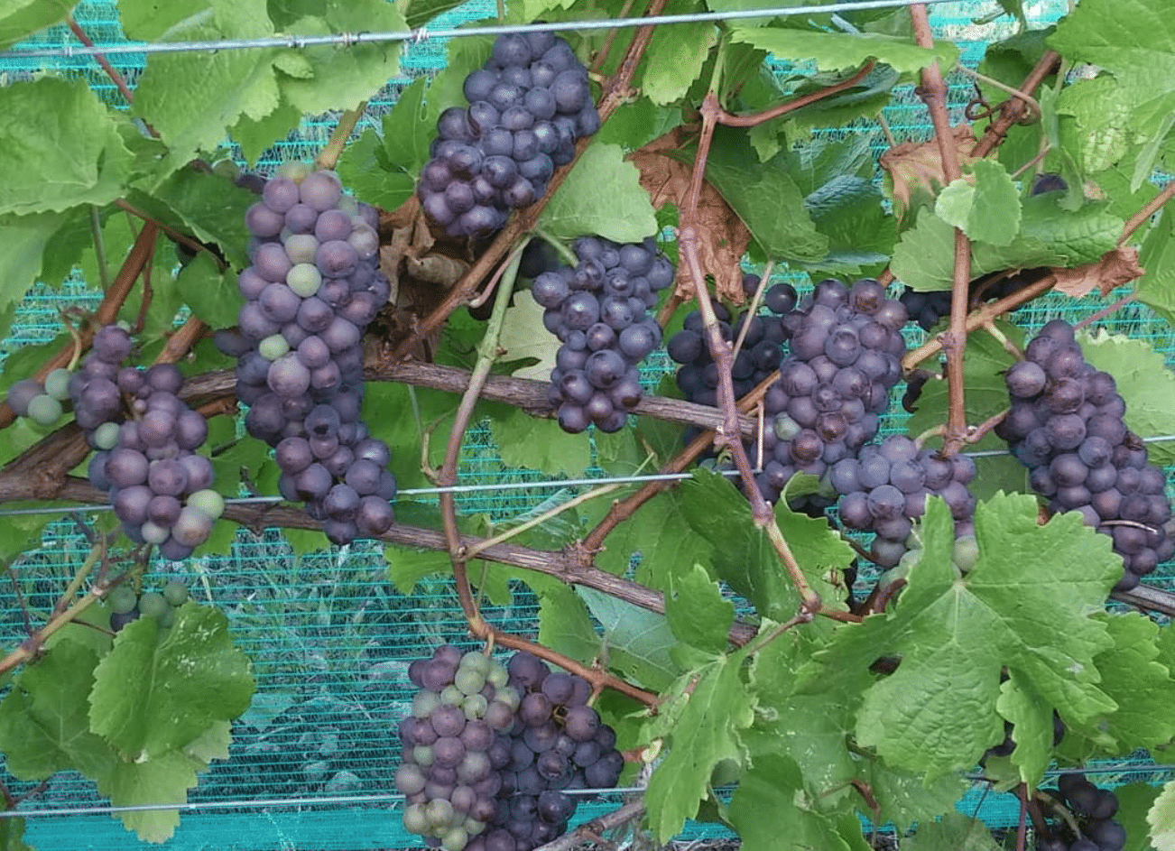 Lacey Estates Winery, Prince Edward County, grapes on vine
